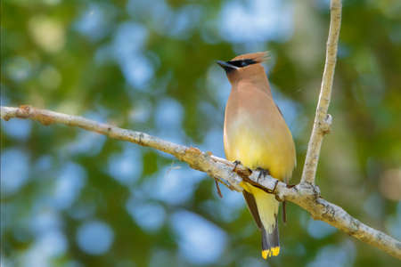 Cedar Waxwing bird on tree branch in forest