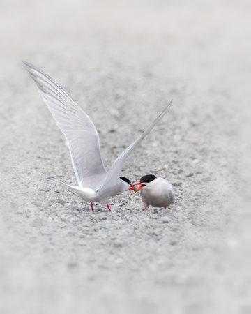 Male Common tern feeding female a fish in courtship behavior process