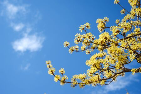 Cornel blossoms. The tree is blooming. Yellow flowers.
