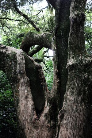 Bijarim Forest. The Largest Single Species Forest in the World. Jeju, Korea.