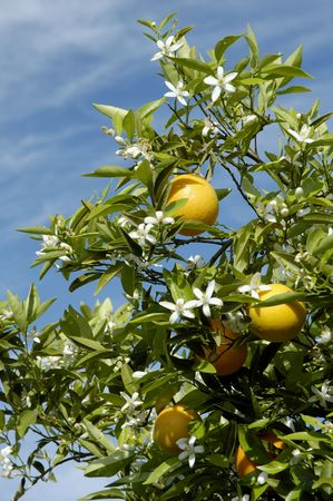 Springtime orange blossoms in an orchard in Arizona. Stock Photo