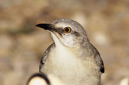 mockingbird: mockingbird up close.
