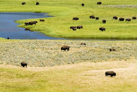 hayden: a buffalo herd in Hayden Valley in Yellowstone National Park