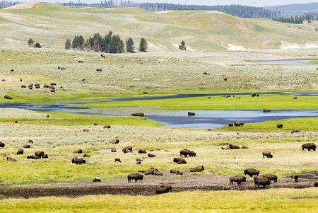 a buffalo herd in Hayden Valley in Yellowstone National Park