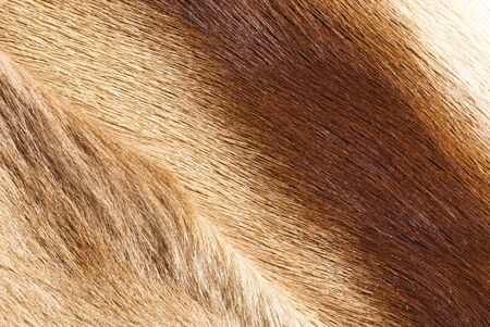 springbok: abstract patterns in a closeup view of springbok animal fur