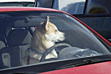 dog behind the wheel in a parking lot waiting for its owner