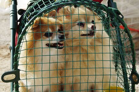 pooches: a pair of caged dogs waiting for their owner Stock Photo