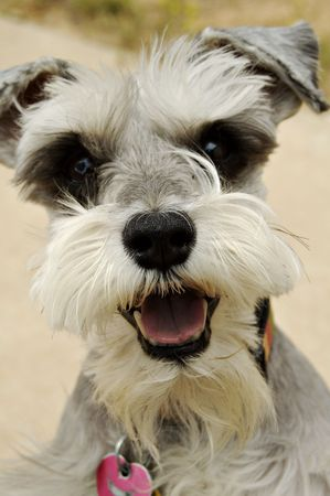 pooches: miniature schnauzer greets a visitor Stock Photo