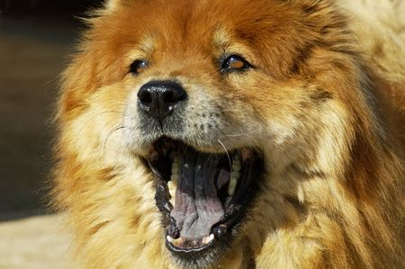 pooches: chow yawning while he waits for his owner to return Stock Photo