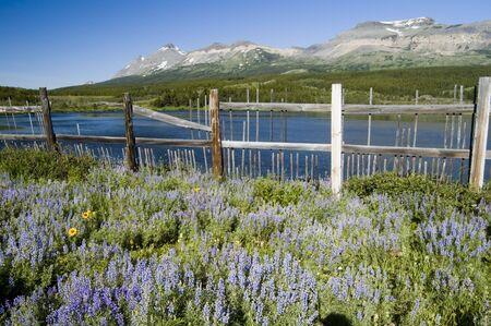glacier national park: Wildflowers in Glacier National Park Stock Photo