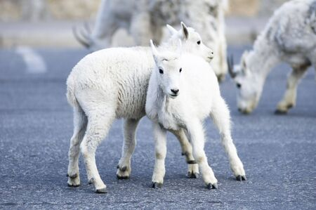 a pair of kid mountain goats playing near Logan Pass in Glacier National Park photo