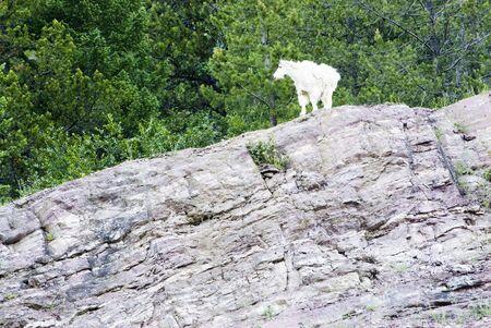 berggeit: een berg geit in Glacier National Park