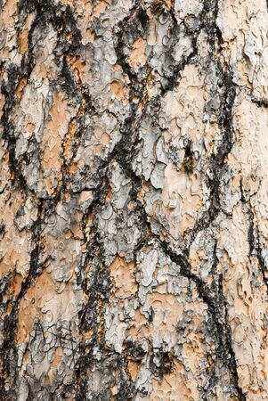 ponderosa pine: detail view of the bark on a Ponderosa Pine tree Stock Photo