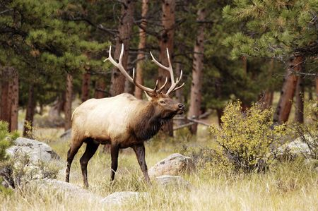 a bull elk during the rut in Rocky Mountain National Park