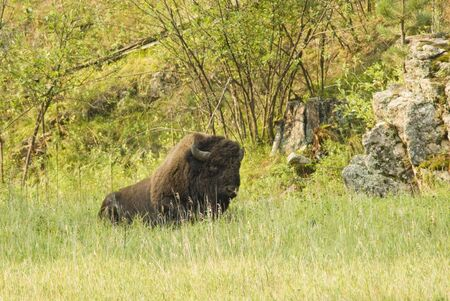 land mammal: an American buffalo bull in Custer State Park in the Black Hills of South Dakota. The largest land mammal in North America. Stock Photo