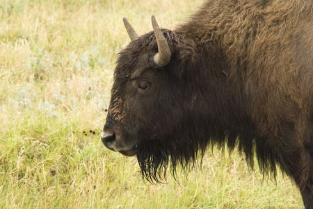 land mammal: an American buffalo  in Custer State Park in the Black Hills of South Dakota. The largest land mammal in North America.