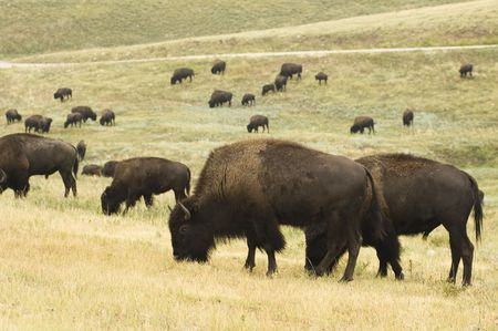 a herd of American buffalo grazingt in Custer State Park in the Black Hills of South Dakota. The largest land mammal in North America.