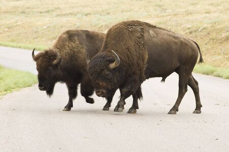 male and female American buffalos crossing the road  in Custer State Park in the Black Hills of South Dakota. The largest land mammal in North America. 版權商用圖片