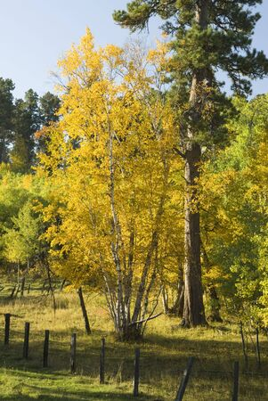 fall colors in the Black Hills of South Dakota. Aspen, birch and pine with a fence in the foreground photo