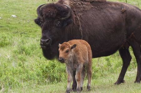 calves: American Bison along the Custer State Park Wildlife Loop in the Black Hills of South Dakota.