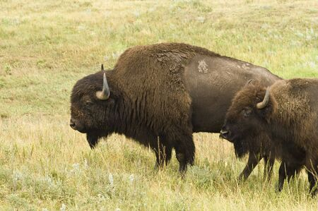 buffalo grass: male and female American buffalo in Custer State Park in the Black Hills of South Dakota. The largest land mammal in North America. Stock Photo