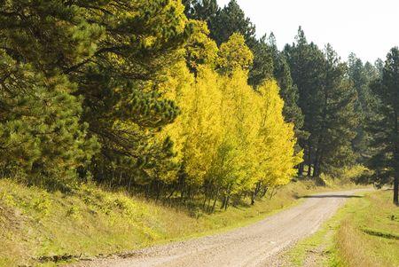 ponderosa pine: fall colors in the Black Hills of South Dakota. Aspen and Ponderosa Pine along a gravel road. Stock Photo