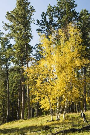 ponderosa: Fall colors in the Black Hills of South Dakota. Birch and Ponderosa Pine on a hillside and a clear blue sky