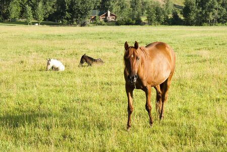 cody: a mare and two foals in a pasture in Wyoming. Log cabin in the background Stock Photo
