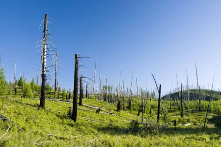Forest fire damage & new growth in Glacier National Park