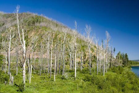 forest fire: Da�os de incendio forestal & nuevo crecimiento en el Parque Nacional Glacier