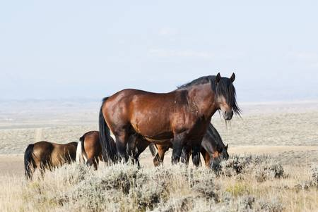roaming: free roaming mustangs on the McCullough Peak Wild Horse Management Area in Wyoming Stock Photo