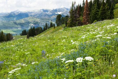 View of alpine wildflowers along the Beartooth Highway in Wyoming.
