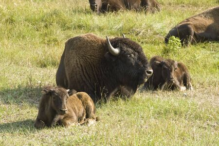 a group of American buffalo resting in Custer State Park in the Black Hills of South Dakota. The largest land mammal in North America.
