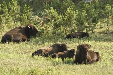 land mammal: American buffalo calves resting in Custer State Park in the Black Hills of South Dakota. The largest land mammal in North America.