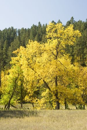 ponderosa: Fall colors in the Black Hills of South Dakota. Mountain Ash and Ponderosa Pine with a clear blue sky.