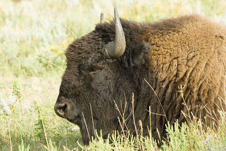 an American buffalo resting in Custer State Park in the Black Hills of South Dakota. The largest land mammal in North America.