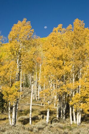 brilliant fall colors in Fish Lake National Forest in Southern Utah. Moon in the background