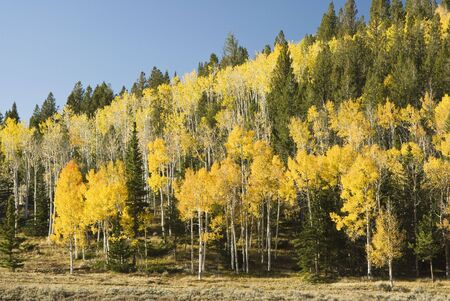 brilliant fall colors in Fish Lake National Forest in Southern Utah. Reklamní fotografie