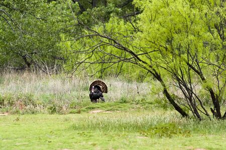 A wild turkey displays his tail feathers in Palo Duro Canyon in Texas