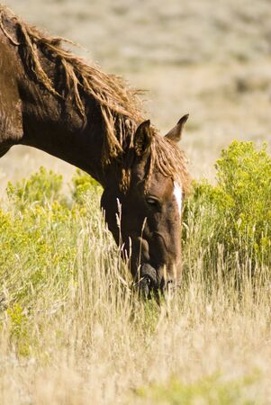 free roaming mustangs on the White Mountain BLM land near Green River Wyoming