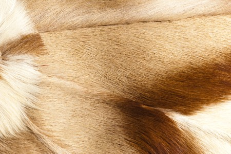 springbuck: abstract patterns in a closeup view of springbok animal fur
