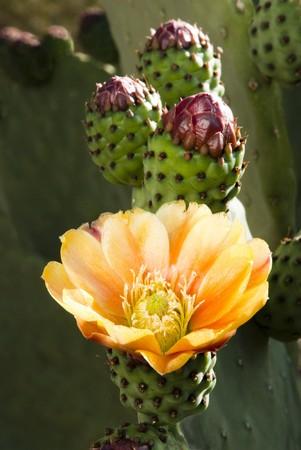 plantas del desierto: flores de cactus de Chumberas florece en la primavera