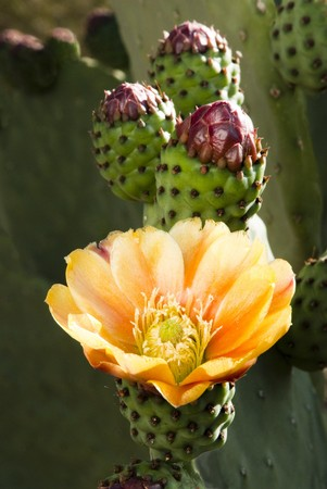 prickly pear cactus blossoms blooming in the spring 版權商用圖片