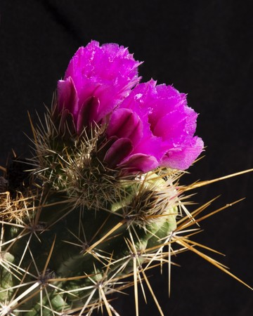 hedgehog cactus blossoms blooming in the Sonoran Desert