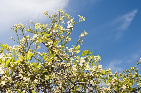 new grapefruit blossoms in the spring.