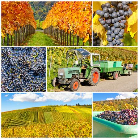 Vine harvest in october