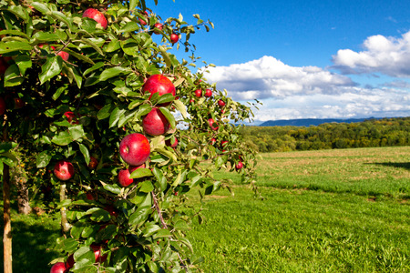 arbol de manzanas: Manzano natural en un prado Foto de archivo