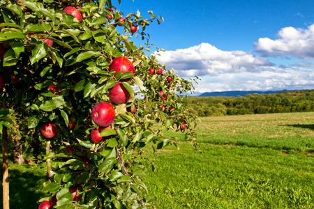 Natürliche Apfelbaum auf einer Wiese Standard-Bild - 32973719