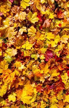 Colorido hojas de arce de fondo Foto de archivo - 33093618