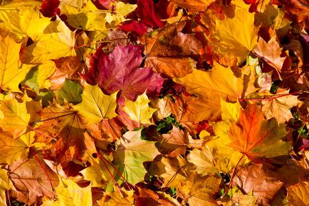 otoño: Hojas de arce en otoño